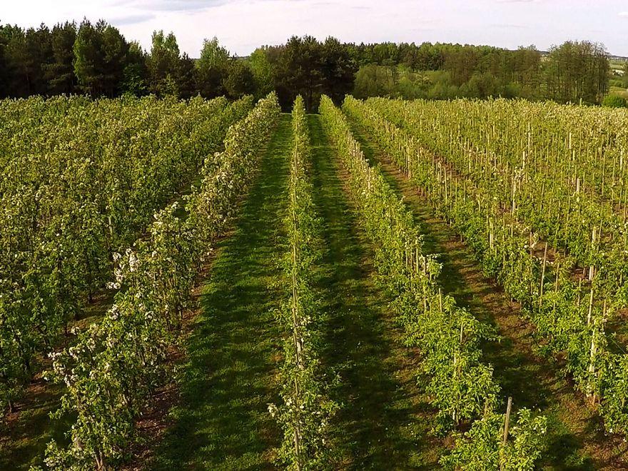 Sady jabłoni w Lewiczynie